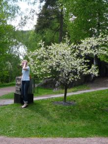 フィンランド暮らしの嫁日記-遅咲きの桜