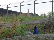 フィンランド暮らしの嫁日記-クジャクとアルパカ